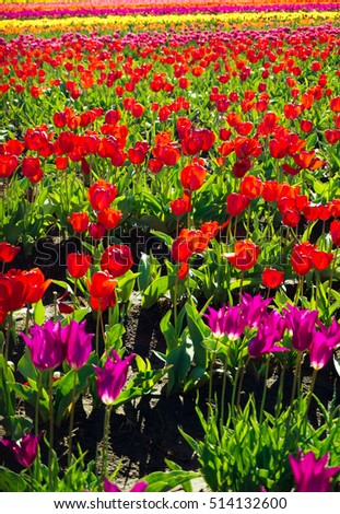 Vertical view of a row of red tulips