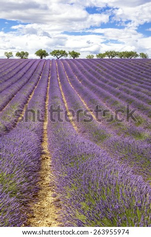 Vertical view of lavender field, France, Europe - stock photo