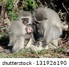 Vervet (green) monkeys (Cercopithecus aethiops) in the Mountain Zebra National Park, South Africa. - stock photo