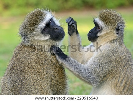 Vervet monkey (Chlorocebus pygerythrus) at a Nature Reserve in South Africa - stock photo