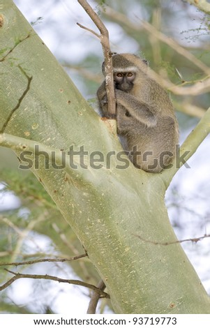 Vervet Monkey (Chlorocebus pygerythrus) in a tree. Kwa Zulu Natal, South Africa.