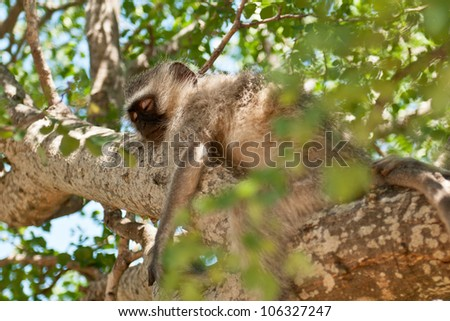 Vervet Monkey Resting in a Tree