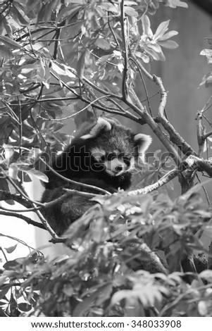 Very adorable red panda - stock photo