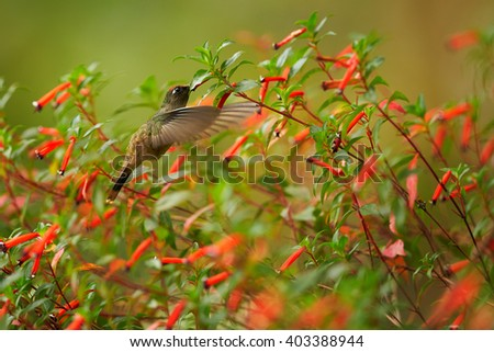Very agile, small and shy hummingbird, Blossomcrown, Anthocephala floriceps, feeding on nectar from cluster of tiny bright red flowers against green background. Sierra Nevada de Santa Marta,Colombia. - stock photo