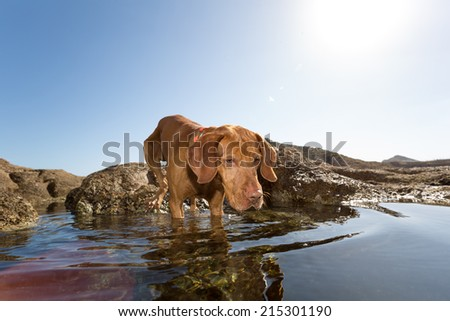 very attentive dog in water - stock photo