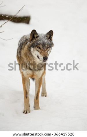 very attentive wolf in snow - stock photo