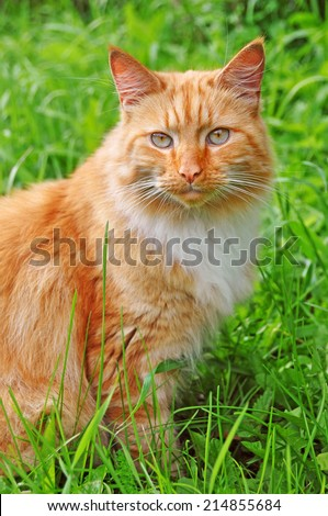 very beautiful adult red color cats - stock photo