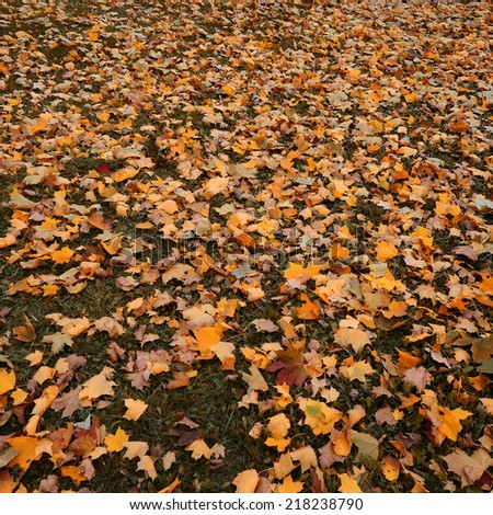 very beautiful autumn leaf fall on ground - stock photo