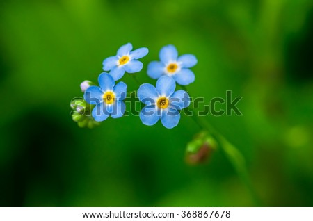 Very beautiful blue flower forget-me-growing in the field