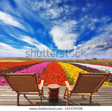 Very beautiful bright colorful flower fields. Commercial cultivation of flowers for sale abroad. At the edge of the field with comfortable wooden chairs for tourists