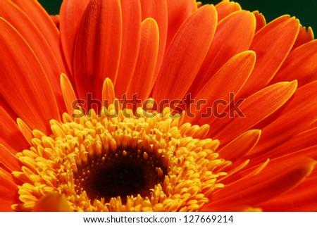 very beautiful bright orange flower in macro - stock photo