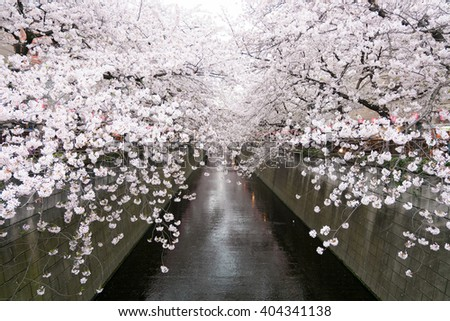Very Beautiful Cherry Blossom Sakura and Meguro river Background in Meguro Canal Tokyo, Japan.