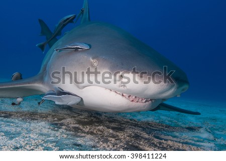 Very close lemon shark head shot with remoras in clear blue water. Showing sharp shark teeth. - stock photo