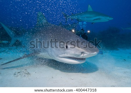 Very close tiger shark head shot in clear blue water. - stock photo