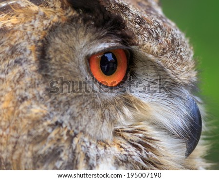 very close up eagle owl - stock photo