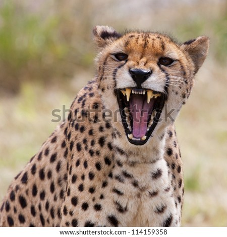 Cheetah Stock Images RoyaltyFree Images Vectors Shutterstock