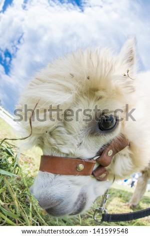 very cute alpacas - stock photo