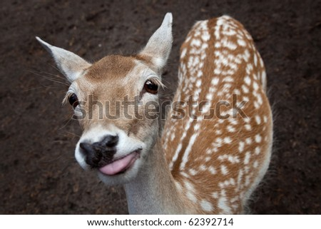 very cute and funny young deer showing the tounge - stock photo