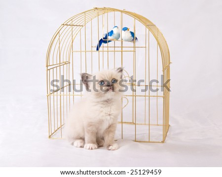 Very cute and pretty Ragdoll kitten sitting in front of gold birdcage with two blue birds, on shiny white background fabric