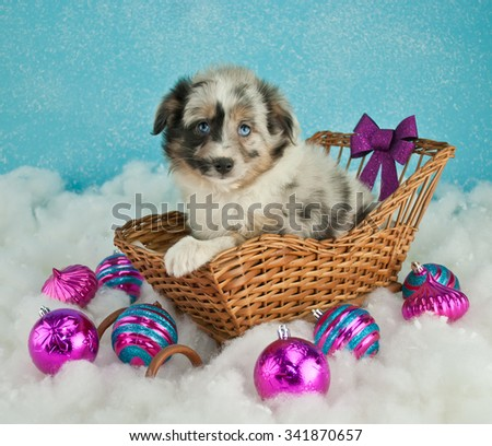 Very cute Australian Shepherd sitting in a sled with snow and Christmas decor around her, on a blue background.