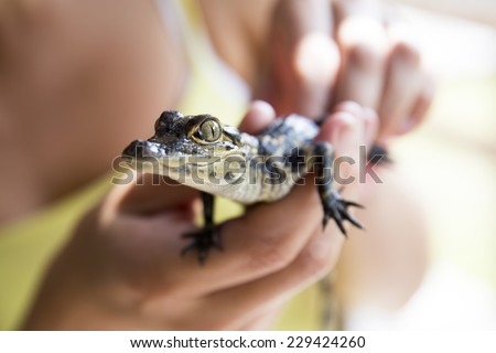 Very cute baby alligator being held. Side profile. Everglades national park, Florida, America.  - stock photo