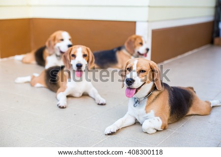 Very cute Beagle dog smiling portrait - close up, group - stock photo
