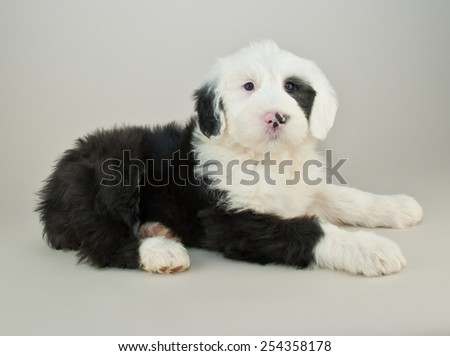 Very cute black and white sheepdog puppy laying down with an alert look in her eyes.