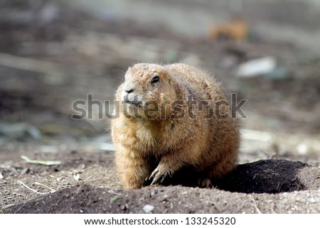 Very cute black tailed prairie dog
