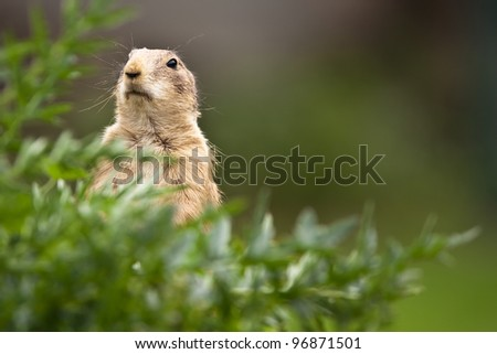 very cute black tailed prairie dog (Cynomys ludovicianus) - stock photo