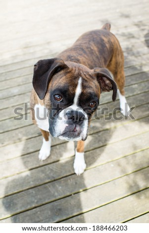 Simple Brindle Boxer Bow Adorable Dog - stock-photo-very-cute-brown-brindle-boxer-dog-looking-curiously-at-you-188466203  Image_451397  .jpg
