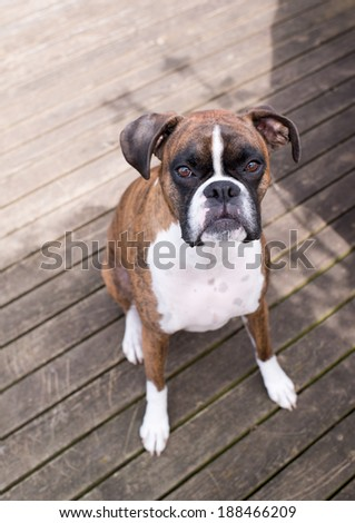 Very Cute Brown Brindle Boxer Dog Looking Curiously at You