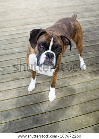 Very Cute Brown Brindle Boxer Dog Looking Curiously at You - stock photo