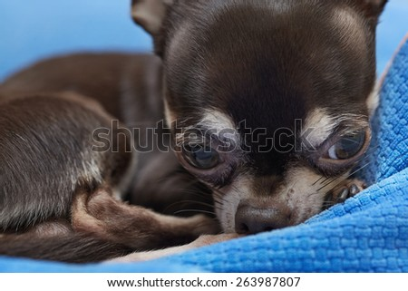 very cute Chihuahua