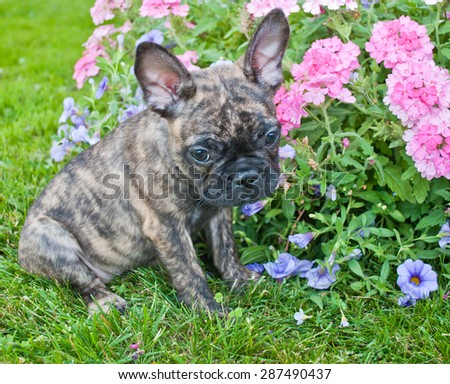 Very cute French Bulldog puppy that looks very sad and sorry about something, sitting outdoors with flowers around her.