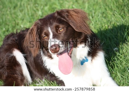 very cute liver and white collie cross springer spaniel pet dog - stock photo