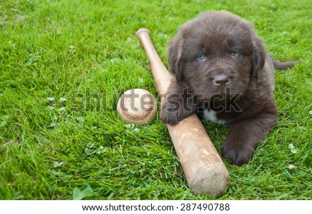 Very cute Newfoundland puppy laying in the grass outdoors with a baseball bat and ball, with copy space. - stock photo