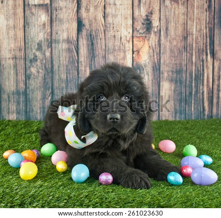 Very cute Newfoundland puppy laying in the grass with Easter eggs around her. - stock photo