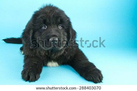Very cute Newfoundland puppy laying on a blue background with a sweet look on his face, with copy space.