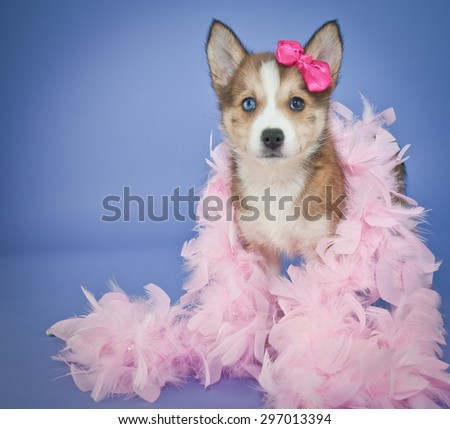 Very cute Pomsky puppy with a pink feather boa and a little pink bow in her hair, standing on a purple background. - stock photo