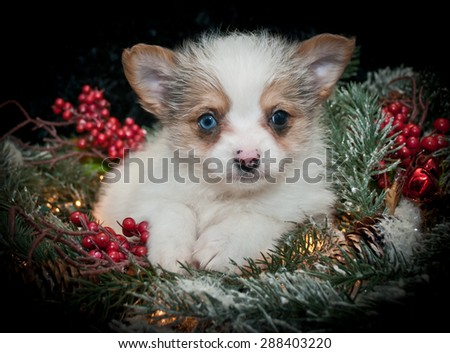 Very cute puppy laying in pine christmas decor with berries and Christmas light around her, on a black background.