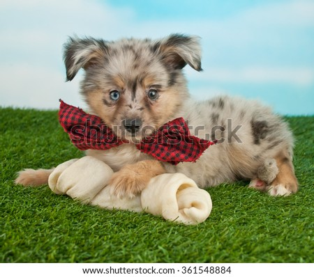 Very cute puppy with super cute big ears laying in the grass wearing a bow tie with a dog bone. - stock photo