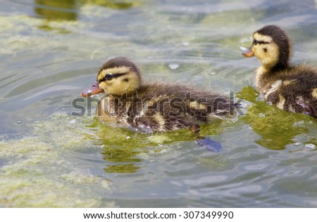 Very cute small ducks are swimming