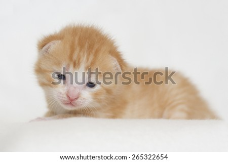 Very cute two weeks old red kitten with a white background