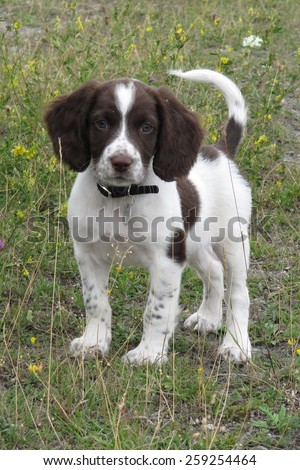 Very cute young liver and white working type english springer spaniel pet gundog puppy - stock photo