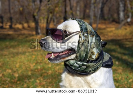 very fashionable dog. Golden Retriever in a silk scarf and sunglasses.