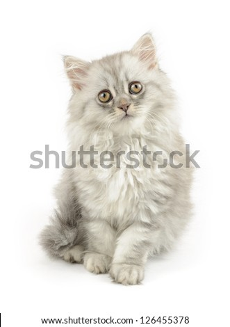 very fluffy white longhair cat isolated on white - stock photo