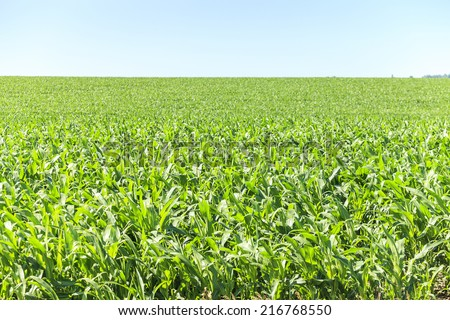 Very green and big corn field.