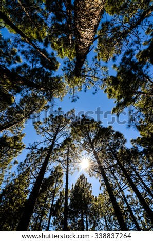 Very High Pine Wood Forest on a Sunny Day - stock photo