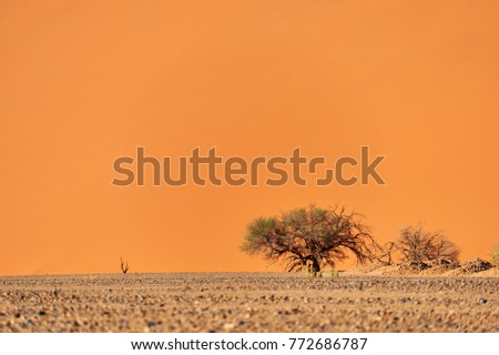Very high red sand dune and trees  in the Namib Desert