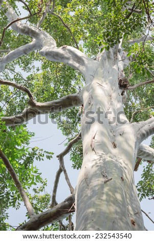 Very large and old eucalyptus tree - stock photo